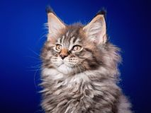 Maine Coon kitten on blue. Maine Coon kitten 2 months old sitting on scratching post for cats. Studio photo of beautiful black tabby domestic kitty on blue Royalty Free Stock Photos