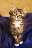Maine Coon Kitten in Blue Satin. This is an adorable silky long haired, Maine Coon kitten showing off her beautiful golden eyes as she poses against the glow of Stock Photos