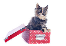 Maine coon kitten in a box Royalty Free Stock Image