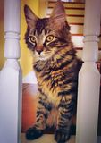 A maine coon kitten cat staring. At the camera in a house in torringron connecticut united states Stock Images