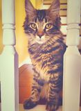 A maine coon kitten cat staring. At the camera in a house in torringron connecticut united states Stock Photos