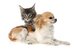 Maine coon kitten and chihuahua Stock Photography