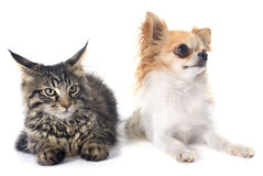 Maine coon kitten and chihuahua Stock Images