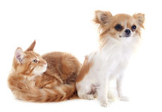 Maine coon kitten and chihuahua Stock Photo