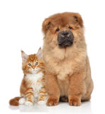 Maine Coon kitten and Chow Chow puppy Royalty Free Stock Image
