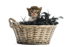 Maine coon kitten coming out of a pet basket Stock Photo