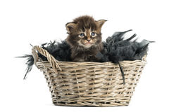 Maine coon kitten coming out of a pet basket Royalty Free Stock Image