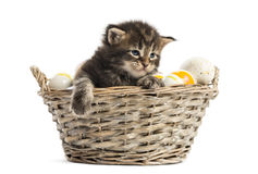 Maine coon kitten coming out of a pet basket Royalty Free Stock Photo
