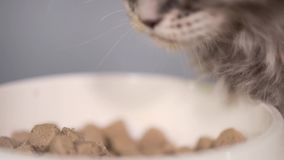Maine coon kitten. Cute gray kitten feeding from bowl at kitchen. Healthy food for young Maine coon cat - 2 months old. Close-up footage adorable kitty eating stock video footage