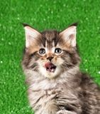 Maine Coon kitten. Cute Maine Coon kitten portrait over bright green grass background Stock Images