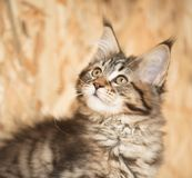 Maine Coon kitten. Cute Maine Coon kitten portrait over dirty yellow background Royalty Free Stock Photography