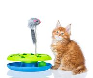 Maine Coon kitten. Cute Maine Coon kitten with toy mouse isolated over white background Stock Images
