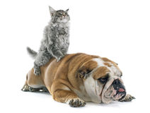 Maine coon kitten and english bulldog Royalty Free Stock Image