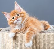 Maine Coon kitten. Fluffy Maine Coon kitten on the couch over grey background Stock Photo