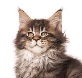Maine Coon kitten. Fluffy Maine Coon kitten isolated over white background Royalty Free Stock Photos