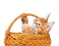 Maine Coon kitten. Fluffy Maine Coon kitten in the wicker basket isolated over white background Royalty Free Stock Photos