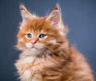 Maine Coon kitten. Fluffy Maine Coon kitten over grey background Royalty Free Stock Images