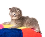 Maine Coon kitten. Fluffy Maine Coon kitten on the pillow isolated over white background Stock Image
