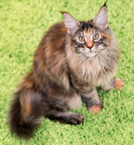 Maine Coon kitten. Fluffy tortoiseshell kitty sitting on a green carpet. Portrait of domestic Maine Coon kitten, top view point. Playful beautiful young cat Royalty Free Stock Photos