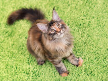 Maine Coon kitten. Fluffy tortoiseshell kitty sitting on a green carpet. Portrait of domestic Maine Coon kitten, top view point. Playful beautiful young cat Royalty Free Stock Image