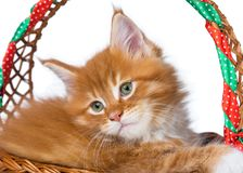 Maine Coon kitten. Fluffy Maine Coon kitten in the wicker basket isolated over white background Royalty Free Stock Image