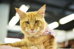 Maine Coon Kitten Stock Photography