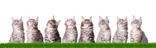 Maine Coon kitten in grass. Family group of eight fluffy beautiful Maine Coon kittens in green grass. Cats isolated on white background. Portrait of beautiful Stock Image