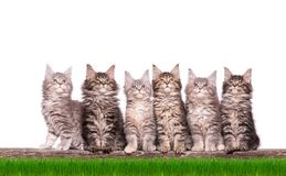 Maine Coon kitten in grass. Family group of six fluffy beautiful Maine Coon kittens in green grass. Cats isolated on white background. Portrait of beautiful Stock Images