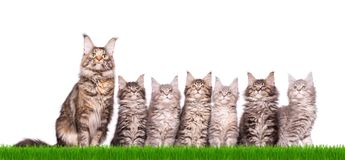 Maine Coon kitten in grass. Family group of six fluffy beautiful Maine Coon kittens with mother in green grass. Cats isolated on white background. Portrait of Royalty Free Stock Images
