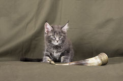 Maine coon kitten Stock Image