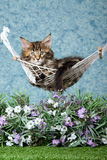 Maine Coon kitten in hammock with flowers. Maine Coon kitten in miniature hammock with lavender flowers and lawn, on blue background Royalty Free Stock Photos