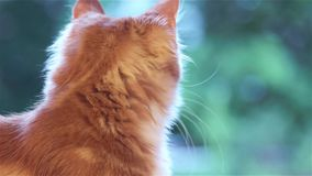 Maine Coon kitten at home stock footage