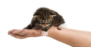 Maine coon kitten in human hand Royalty Free Stock Image