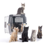 Maine coon kitten and kennel Stock Image