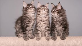 Maine coon kitten. S 2 months old sitting on scratching post for cats. Studio footage of beautiful domestic kitty on gray background stock video