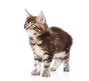 Maine coon kitten looking away. isolated on white background Stock Images