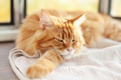 Maine Coon Kitten Lying rouge sur une couverture photo libre de droits