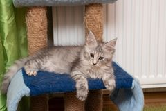 Maine Coon kitten is lying on a scratching post stock image
