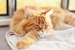 Maine Coon Kitten Lying vermelha em uma cobertura foto de stock royalty free