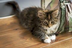 Maine Coon kitten lying on the wooden floor Stock Photos