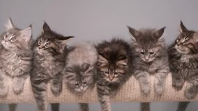 Maine coon kitten. S 2 months old sitting on scratching post for cats. Studio footage of beautiful domestic kitty on gray background stock video footage