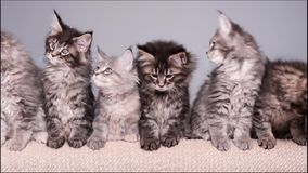 Maine coon kitten. S 2 months old sitting on scratching post for cats. Studio footage of beautiful domestic kitty on gray background stock footage
