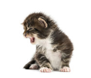 Maine coon kitten meowing. Isolated on white Stock Images