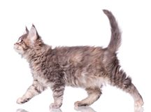 Maine Coon kitten on white. Maine Coon kitten 2 months old. Cat isolated on white background. Portrait of beautiful domestic kitty Royalty Free Stock Images