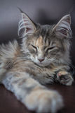 Maine Coon Kitten Stock Photography