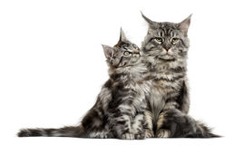 Maine coon kitten and mother Stock Images