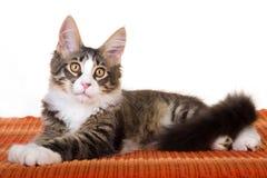 Maine Coon kitten on orange carpet. On white background royalty free stock images