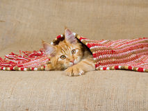 Maine Coon kitten peeping under carpet. Maine Coon kitten peeping from under red woven carpet Stock Photography