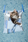 Maine Coon kitten in peg bag on line royalty free stock photography