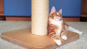 Maine Coon kitten play stock video footage